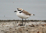 Waders-Plovers and Lapwings