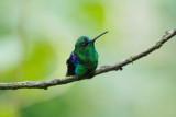 Emerald-bellied Woodnymph