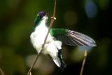 Purple-crowned Fairy