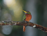 Yellow-billed Jacamar2