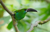 Crimson-rumped Toucanet2