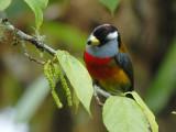 Toucan Barbet2