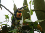 Pale-mandibled Aracari2