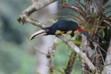Pale-mandibled Aracari3