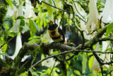 Pale-mandibled Aracari4