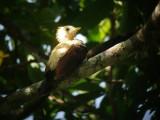 Cream-coloured Woodpecker2