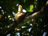 Cream-coloured Woodpecker3