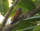 Yellow-vented Woodpecker