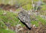 Rufous-bellied Seedsnipe