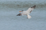 Royal Tern2