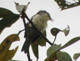 Double-banded Graytail