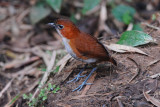 White-bellied Antpitta2
