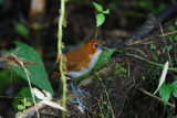 White-bellied Antpitta3