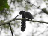 Long-wattled Umbrellabird2