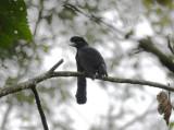 Long-wattled Umbrellabird3