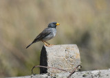 Band-tailed Sierra-Finch2