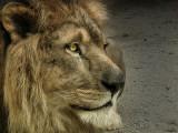 lionK.jpg