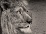 lionK1.jpg