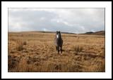 Moorland pony