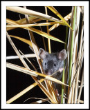 Mouse in reeds