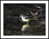 Grey wagtail on the riverbank