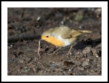 Robin pulling up worm