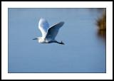 IFlying egret