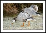 Frozen geese