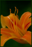 Dreamsicle Day Lily