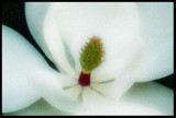 Glowing Magnolia Blossom
