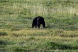 A beautiful black bear