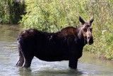 Cow moose in the Snake River #2