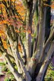 tree, Botanicuslaan, Haren