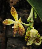 Phalaenopsis doweryensis