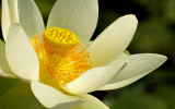 Lotus in the Early Morning Sun