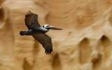 Pelican @ Torrey Pines