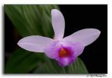 Sobralia biflora