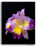 Cattleya Alliance Hybrid