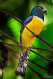 trogon bird