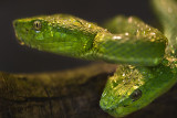 greensnakes