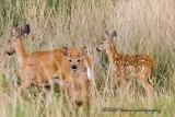 Mama White Tail with Fawns