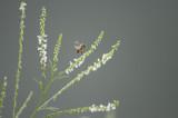 White sweet clover