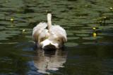 Swan-o-war