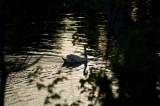 Mute swan at dusk