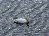 poetic swan
