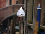 Venezia-Chouette mouette-30128.jpg