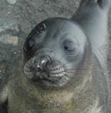 Fur Seal self image.JPG