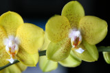 new orchid