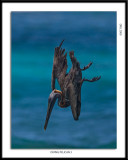 Diving Pelican:Straight Down