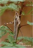 Homesteader Grasshopper.?